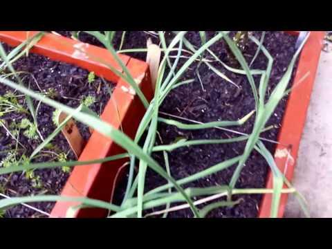Cool Weather Vegetables Update & Mini Harvest - Ep. 31