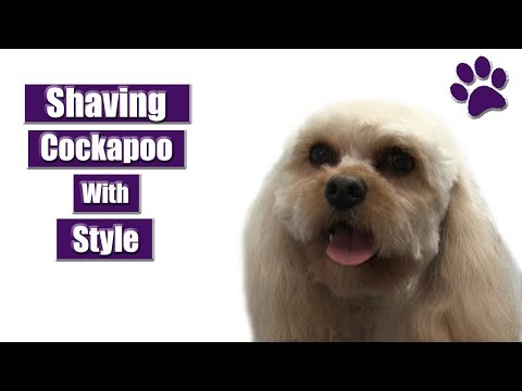 Shaving A Cockapoo With Style