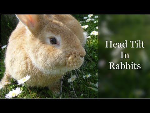 Head Tilt In Rabbits (Treatment And Prognosis)