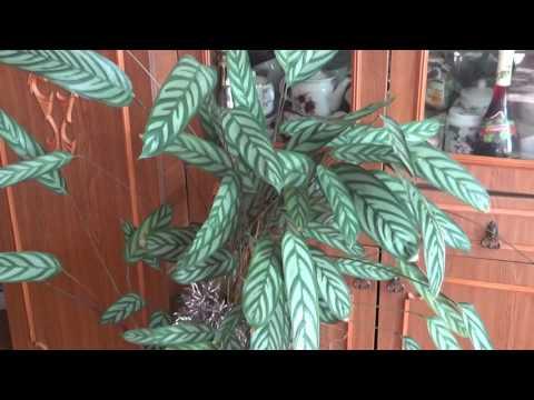 ХАМЕДОРЕЯ - неприхотливая теневыносливая пальма. Особенности покупки и ухода
