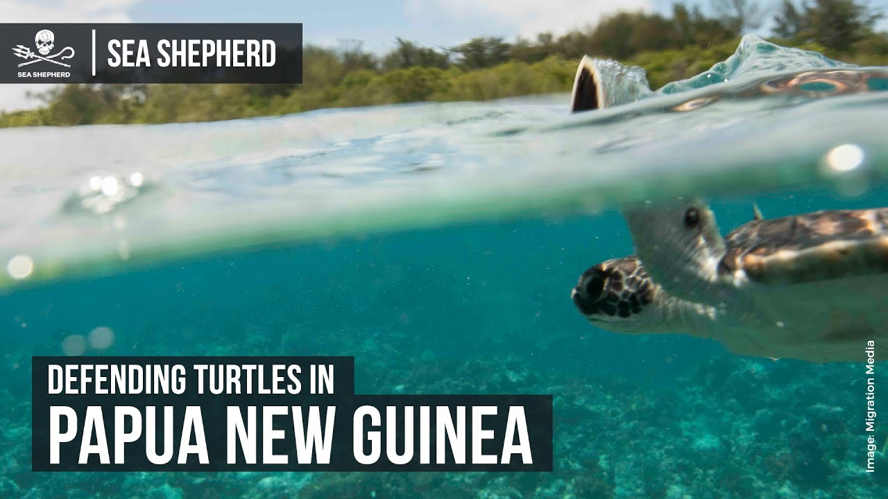 Defending Turtles in Papua New Guinea