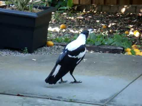 Magpie Singing - imitating Barking dog, Siren and other birds