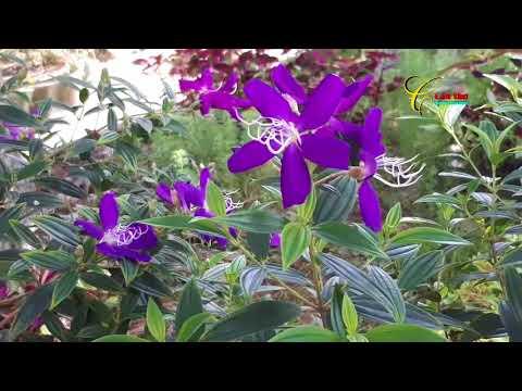 Cây Hoa Mua Và Chuyện Hoa Mua | Truong Huu Quoc