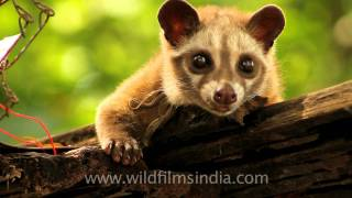 This Civet's droppings of coffee beans are a delicacy!