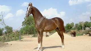 18 month old horse marwari filly 2017