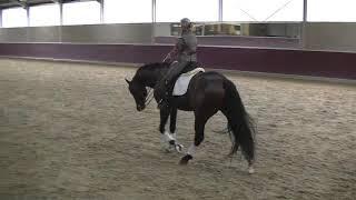 Genie 7 y old stallion in training
