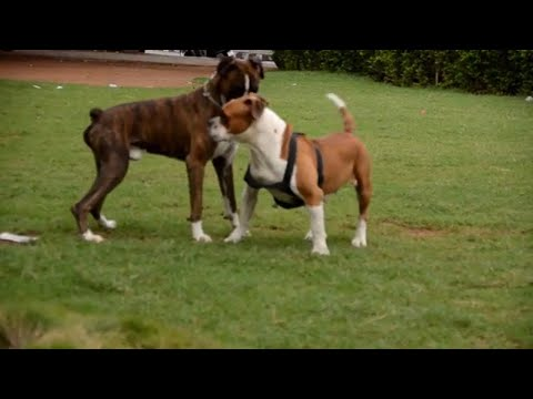 American Bulldog vs Boxer || Necklace road dog park