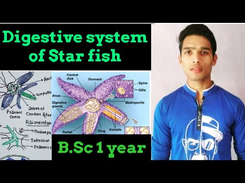 Digestive System Of Star Fish