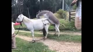 Little Donkey Trying To Mate With Big Horse