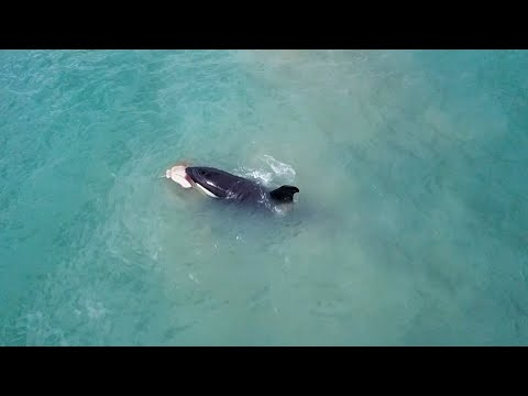 Drone Captures Huge Orca Biting Stingray