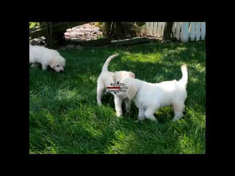 Bichon Puppy For Sale | FunnyDog TV