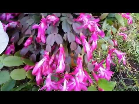 Шлюмбергера (декабрист). Рождественский кактус цветет летом.