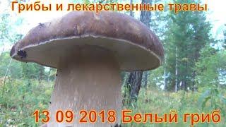 Грибы и лекарственные травы 13 09 2018 Белый гриб рыжик сибирь тайга природа Сбор грибов тихая охота