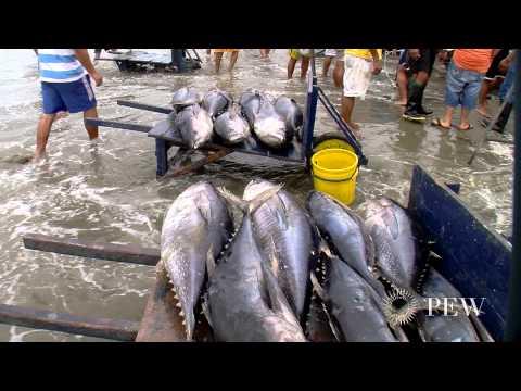 Finning Endangers Sharks, Ocean Ecosystem | Pew