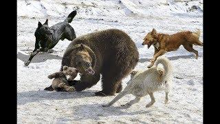 驚くばかりの母のクマは赤ちゃんを救うために狩猟犬を取る| 狩猟犬は失...