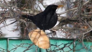 Чёрный дрозд. Птицы Ultra HD. AllVideo