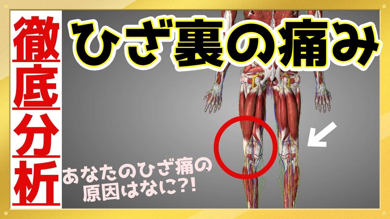 【あなたのひざ裏痛の原因とは…?】3D解剖学アプリであなたのひざ裏痛の原因を詳しく解説《東京ひざ痛専門整体院 京四郎 -KYOSIRO-》#ひざ痛#ひざ裏#京四郎