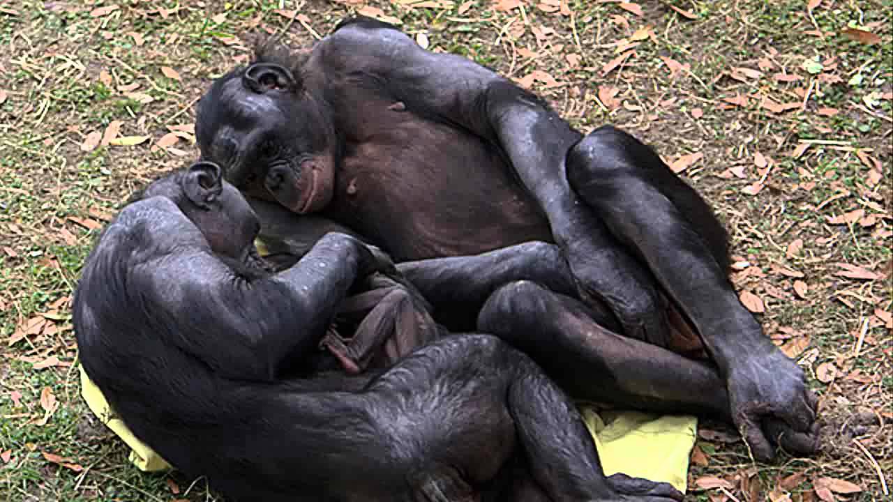 Resultado de imagen de bonobo