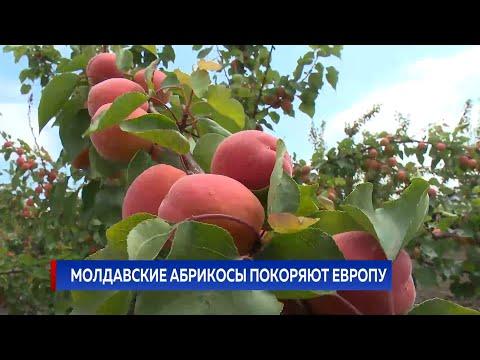МОЛДАВСКИЕ АБРИКОСЫ ПОКОРЯЮТ ЕВРОПУ