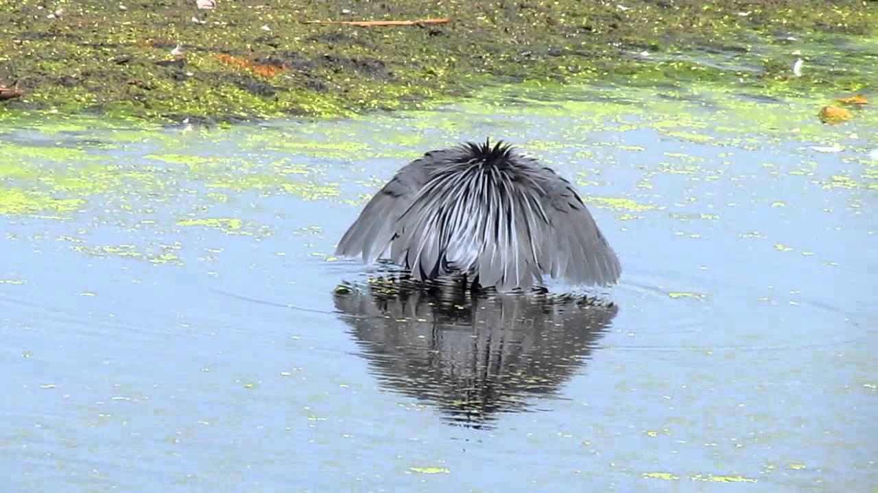black heron hunting youtube