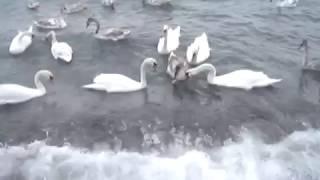 Хлебная диета у лебедей