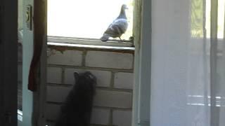 Кошка, которая похоже впервые видит голубя....