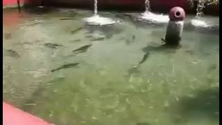 Trout Fish farm Resort at Madyan, Swat