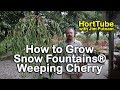 How to grow Snow Fountains® Weeping Cherry - Weeping White Flowering Cherry