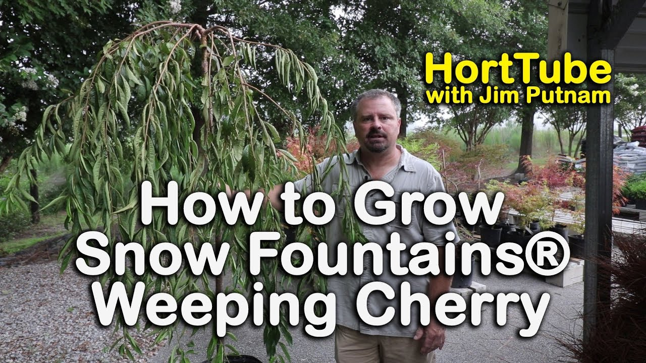How To Grow Snow Fountains Weeping Cherry Weeping White Flowering Cherry Youtube