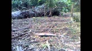 Video Ayam Hutan Pikat Betina  31 download MP3, 3GP, MP4, WEBM, AVI, FLV Juni 2018