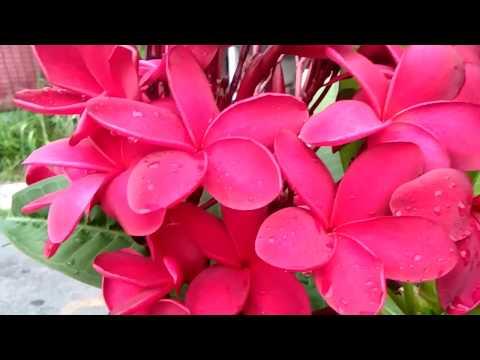 Red Flower Plumeria/Frangipani.