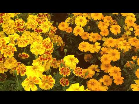 Marigold French Mix Flowers Very Good For Bees