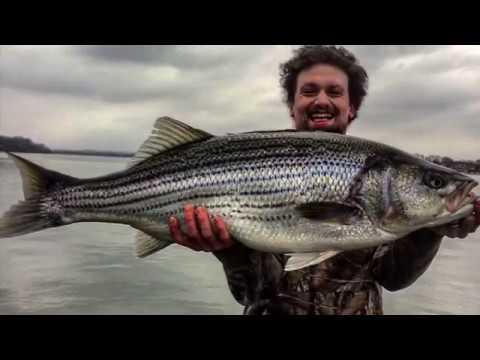 Old Hickory Lake-Fall Striped Bass (massive Fish Caught)