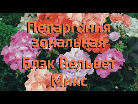 Пеларгония зональный Микс 🌿 зональный пеларгония Микс обзор: как сажать, семена пеларгонии Микс