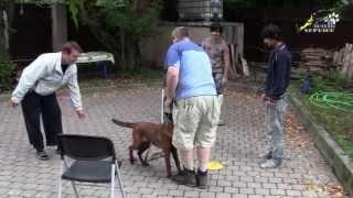 Дрессировка собак, как отучить щенка подбегать к чужим(http://www.walkservice.ru/Forum/showthread.php?360 - для ОБСУЖДЕНИЙ и вопросов, и не забывайте ставить НРАВИТСЯ и ПОДПИСЫВАТЬСЯ...., 2013-09-05T14:17:48.000Z)