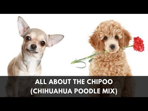 Your Complete Guide to the Chihuahua Poodle Mix (Chipoo)