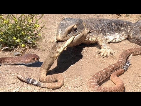 lizard-finds-rattlesnakes----eats-everyone