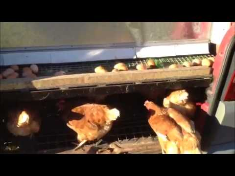 Chicken van with roll away nest box.