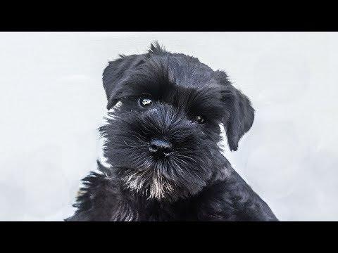 Miniature Schnauzer Puppy on Day 2 of Puppy Training - Cody