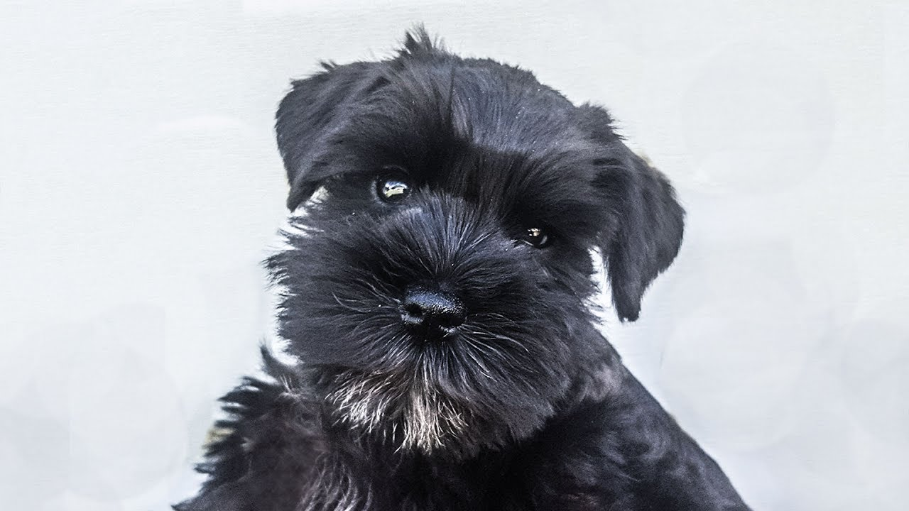 Miniature Schnauzer Puppy On Day 2 Of