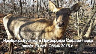 Изюбриха Бусинка в Приморском Сафари-парке живёт 10 лет. Осень 2016 г.