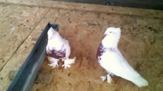 Мои андижанцы, узбекские бойные голуби(Андижанские голуби https://ok.ru/profile/587877375763., 2017-01-17T15:19:51.000Z)