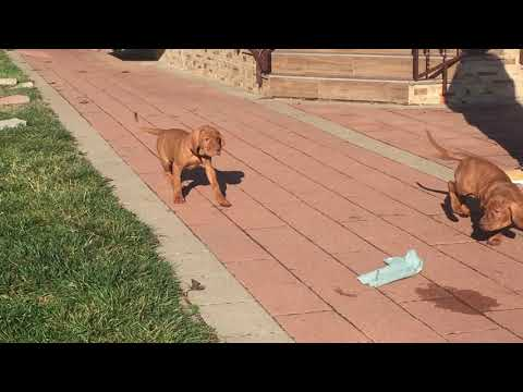 Vizsla male for sale Euro Puppy