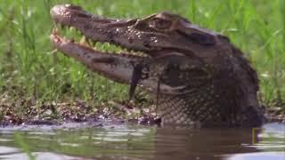 Самые опасные животные. Южная Америка