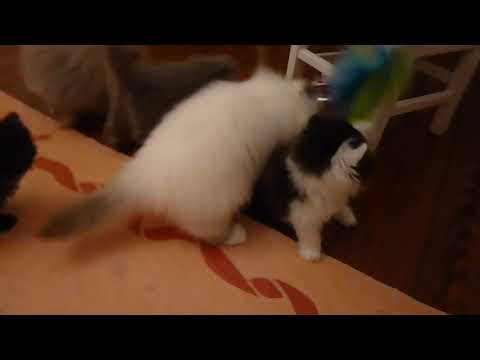 How Do 7 Week to 16 Week Old Persian Himalayan Kittens Play Together?