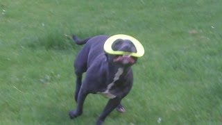 Chester  Staffordshire Bull Terrier At A & B Dogs Boarding & Training Kennels.