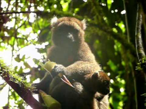 Madagascar Greater Bamboo Lemur rarest animal in the world in Ranomafana Parc-part 2 of 2