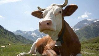 Презентация: Домашнее животное Корова, Развивающее видео, мультики для детей
