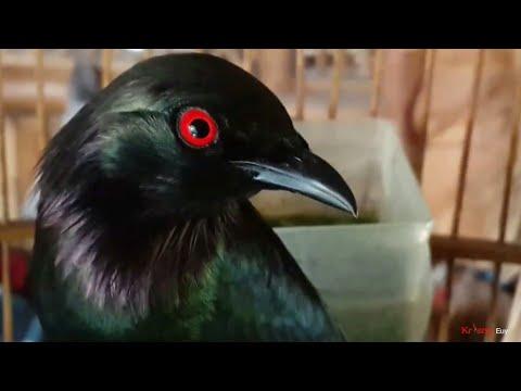 Edan Burung Cucak Keling Jinak - Gacor | كوكاك برشام غاكور | Rippled Birds