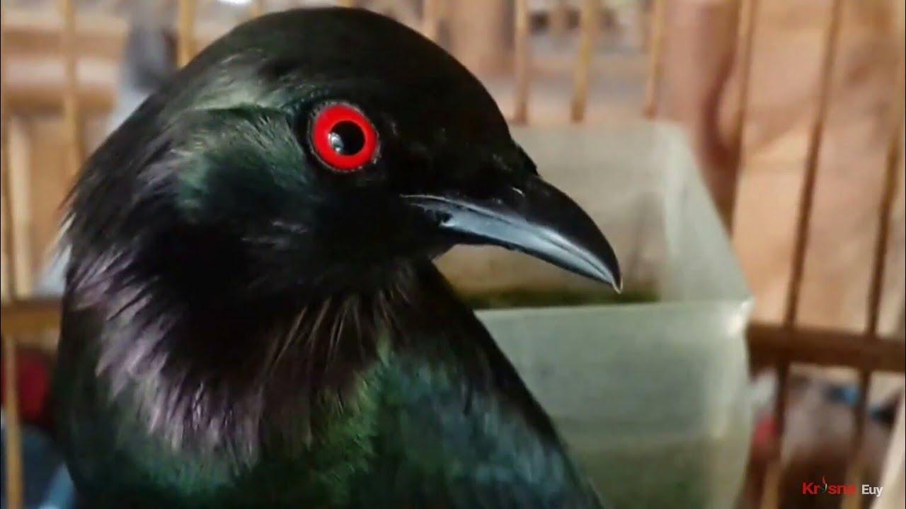 Edan Burung Cucak Keling Jinak Gacor كوكاك برشام غاكور Rippled Birds Youtube